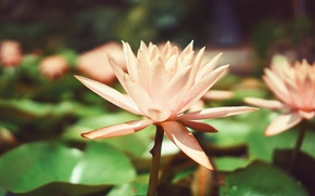 Picture petals, Lily, water Lily