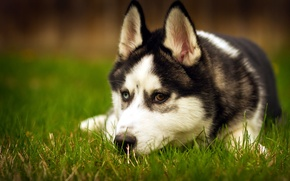 Wallpaper each, beauty, dog, husky