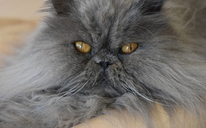 Picture cat, look, fluffy, muzzle, Persian cat