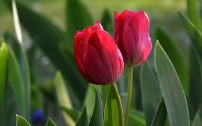 Picture Spring, Spring, Red tulips, Red tulips