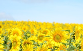 Picture flowers, flowers, widescreen, HD wallpapers, blue, Wallpaper, plant, full screen, flower, background, sky, yellow, fullscreen, ...