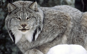 Wallpaper lynx, eyes, forest, winter