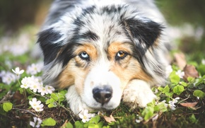 Picture flowers, portrait, dog, Wallpaper from lolita777, Aussie