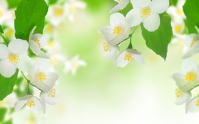 Picture leaves, flowers, freshness, beauty, branch, spring, stamens, white, white, flowers, leaves, beauty, spring, Jasmine, branch, ...