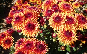 Picture flowers, chrysanthemum, different