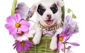 Picture flowers, basket, dog, puppy, collar, Chihuahua, kosmeya