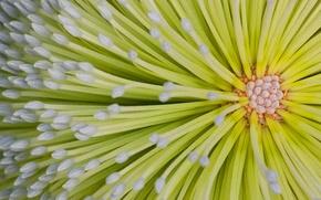 Wallpaper flower, Australia, QLD, Fraser island, banksia, Hoi