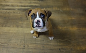 Picture look, dog, puppy, boxer