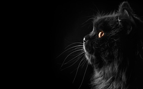 Wallpaper cat, cat, mustache, background, black, profile, Persian