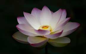 Picture flower, Lotus, black background