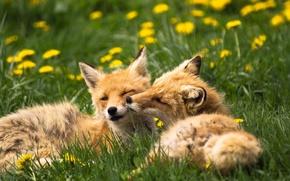 Picture animals, summer, grass, nature, Fox, dandelions