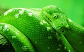 Wallpaper animals, snakes, nature, snake, macro fauna