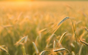 Picture nature, Golden light, Barley Field