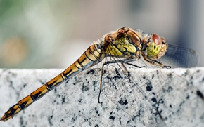 Picture legs, stone, wings, insect, head, marble, Dragonfly, granite