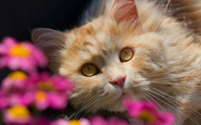 Picture cat, look, flowers, bokeh, muzzle, red cat
