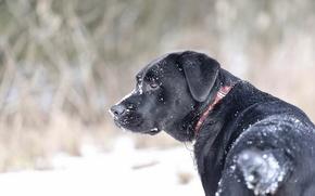 Picture snow, collar, dog