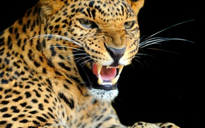 Picture look, background, predator, leopard, color, wild cat, growl