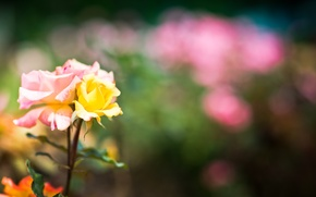 Picture macro, flowers, roses