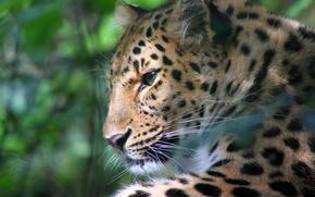Picture mustache, face, glare, stay, leopard, profile