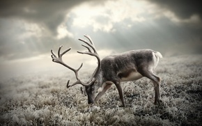 Picture the sky, grass, the sun, deer, horns, tundra, frost