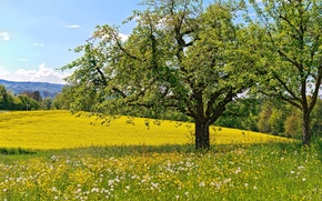 Picture trees, flowers, spring, meadow, dandelions
