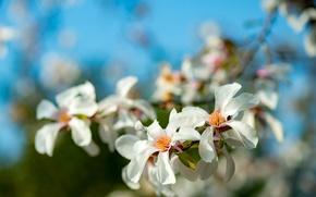Picture branch, spring, Magnolia