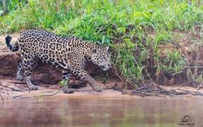Picture shore, predator, spot, Jaguar, walk, wild cat