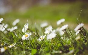 Picture greens, grass, chamomile, petals