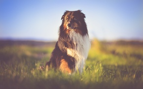 Picture grass, field, dog, bokeh, australian shepherd