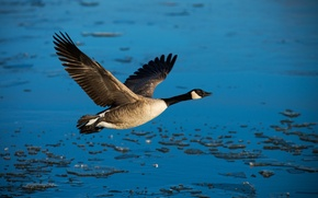 Picture freedom, water, bird, wings, flight, duck