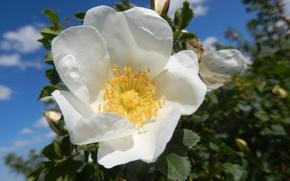 Picture briar, flower, White, brier