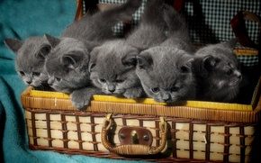 Picture kids, kittens, the British, British Shorthair, suitcase