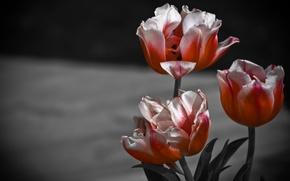 Picture macro, background, petals, tulips