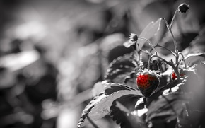 Picture nature, color, berry