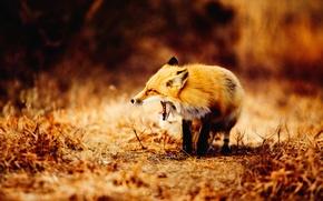 Wallpaper grass, the way, lazy, Fox