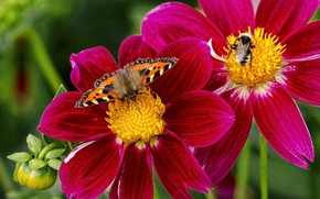 Wallpaper macro, flowers, insects, butterfly, bumblebee, dahlias, urticaria