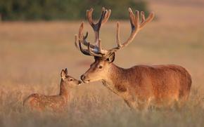 Picture deer, fawn, Red deer