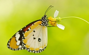 Wallpaper flower, butterfly, wings, moth, plant