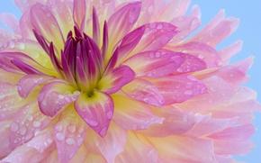 Wallpaper flower, Rosa, gently, aroma