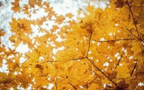 Picture autumn, trees, maple, Golden autumn, bokeh.