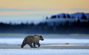 Wallpaper Bear, Predator, Sunrise, Wild, Alaska, Grizzly, Clark, Mammal, Lake, Mmorning, Wildlife