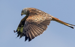 Picture flight, wings, predator, Bird, bird, stroke, flight, predator, hunter, red kite, red kite, Pitigoi pitigoi