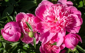 Picture the sun, drops, Pink, pink, color, peonies, Peonies