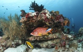 Picture fish, corals, the bottom of the sea, blue water