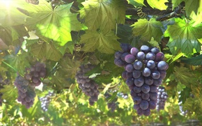 Picture leaves, the sun, art, grapes, bunch, vine