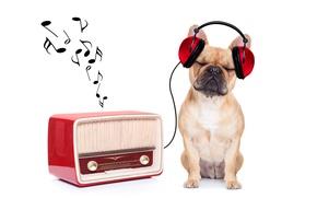 Picture music, radio, humor, headphones, white background, bulldog