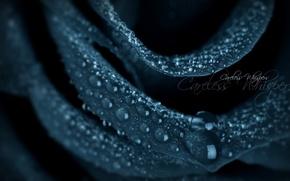 Picture flowers, rose, rose, black, careless