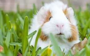 Picture grass, Guinea pig, rodent
