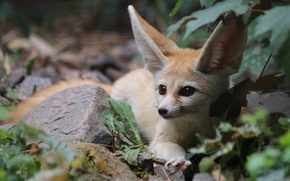 Picture nature, Fox, Fenech, by Malleni-Stock