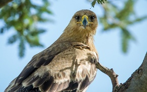 Picture the sky, look, tree, Steppe eagle